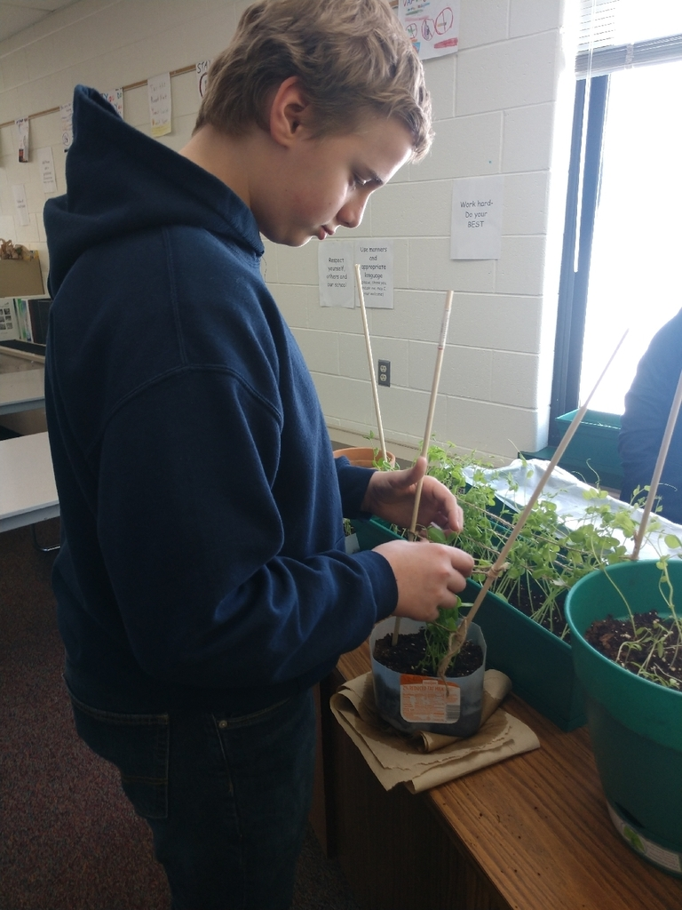 Today students in 7th grade health made a lattice for our growing peas, and  worked on transplanting tomatoes and peas.